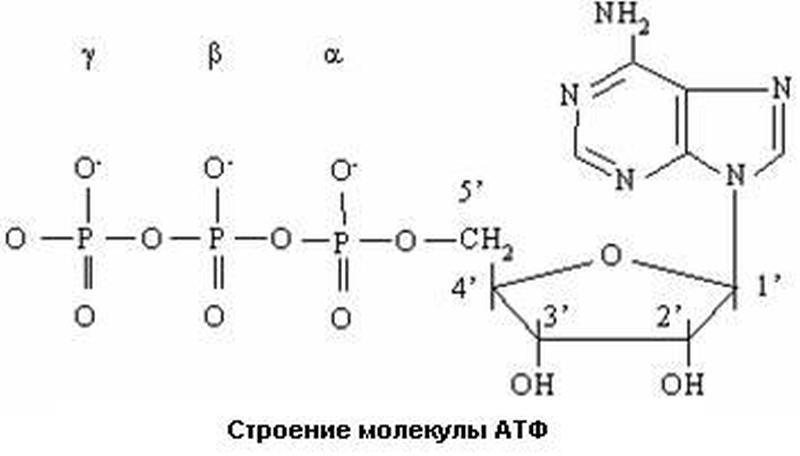Строение молекулы АТФ